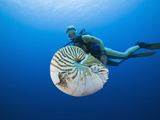Chambered Nautilus and Diver (Nautilus Pompilius), Great Barrier Reef, Australia Photographic Print by Reinhard Dirscherl