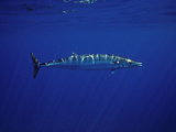 Ono or Wahoo (Acanthocybium Solandri) a Relative of the King Mackerel Photographic Print by David Fleetham