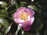 Camellia in Flower Photographic Print by Marc Epstein
