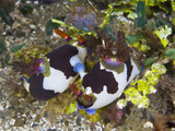 Nudibranchs (Nembrotha Rutilans) Mating at Ambon Island, Indonesia Photographic Print by Christopher Crowley
