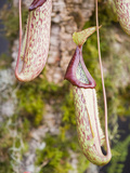 Tropical Pitcher Plants Photographic Print by Ashley Cooper