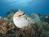 Chambered Nautilus (Nautilus Belauensis) on a Coral Reef, Micronesia, Palau Photographic Print by Reinhard Dirscherl