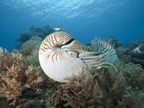Chambered Nautilus (Nautilus Belauensis) on a Coral Reef, Micronesia, Palau Photographic Print by Reinhard Dirscherl