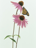 A Monarch Butterfly (Danaus Plexippus) on an Echinacea Flower Photographic Print by Wally Eberhart