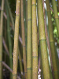Bamboo Stems Photographic Print by Reinhard Dirscherl