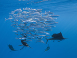 Atlantic Sailfish (Istiophorus Albicans) Hunting Sardines, Isla Mujeres, Yucatan Peninsula Sea Photographic Print by Reinhard Dirscherl