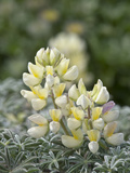 Yellow Bush Lupine (Lupinus Arboreus), Inyo National Forest, California, USA Photographic Print by Gerald & Buff Corsi