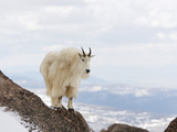 Mountain Goat (Oreamnos Americanus), Rocky Mountains, USA Photographic Print by John Cornell