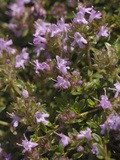 Wild Thyme (Thymus Polytrichus), Scotland, UK Photographic Print by Gary Cook