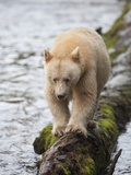 Kermode or Spirit Black Bear Variety (Ursus Americanus Kermodei) Walking on a Log Photographic Print by Cheryl Ertelt
