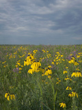 Coneflowers in Native Tallgrass Prairie under Gray Sky Photographic Print by Clint Farlinger
