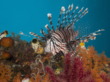 Lionfish (Pterois Volitans), Raja Ampat, West Papua, Indonesia Photographic Print by Reinhard Dirscherl
