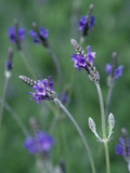 Lavender Flowers (Lavandula Multifida), Spanish Eyes Variety Photographic Print by Wally Eberhart