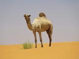 Camel in the Sahara Desert, Mauritania Fotografisk tryk af Gary Cook