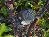 Green Heron (Butorides Virescens) with Eggs in a Nest, Florida, USA Photographic Print by John Cornell