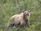 Sub-Adult Brown Bear (Ursus Arctos) on the Tundra, Sable Pass, Denali National Park, Alaska, USA Photographic Print by Patrick Endres