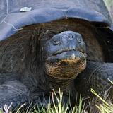 Galapagos Tortoise Head (Geochelone Elephantopus), Urbina Bay, Isabela Island, Galapagos Islands Photographic Print by Gerald & Buff Corsi