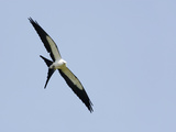 Swallow-Tailed Kite Flying (Elanoides Forficatus) Reproduction photographique par John Cornell