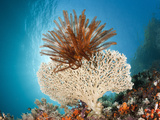 Crinoid (Comanthina) on a Small Table Coral, Raja Ampat, West Papua, Indonesia Photographic Print by Reinhard Dirscherl