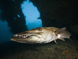 Great Barracuda at Liberty Wreck, Tulamben, Bali, Indonesia Photographic Print by Reinhard Dirscherl