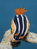 Pyjama Nudibranch (Chromodoris Magnifica), Lembeh Strait, North Sulawesi, Indonesia Photographic Print by Reinhard Dirscherl