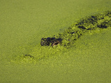 American Alligator, Alligator Mississippiensis, Peering Through Duckweed Photographic Print by John Cornell
