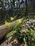 Yellow Trout Lily (Erythronium Americanum), Great Smoky Mountains National Park, Tennessee, USA Photographic Print by Gerald & Buff Corsi