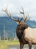 Bull Elk (Cervus Elaphus), Alaska, USA Photographic Print by Buff & Gerald Corsi