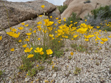 Desert Gold Poppy (Eschscholzia Glyptosperma), Joshua Tree National Park, California, Mojave Desert Photographic Print by Buff & Gerald Corsi
