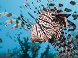 Lionfish (Pterois Volitans), Pacific Ocean, Raja Ampat, West Papua, Indonesia Photographic Print by Reinhard Dirscherl