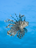 Lionfish (Pterois Volitans) Daedalus Reef, Red Sea, Egypt Photographic Print by Reinhard Dirscherl
