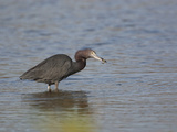 Little Blue Heron with a Fish in its Bill (Egretta Caerulea) Photographic Print by John Cornell