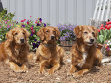 Golden Retrievers Sitting in a Garden, MR D2737 Photographic Print by Cheryl Ertelt