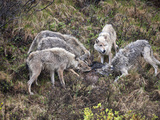 Gray Wolf (Canis Lupus) Pack Feeding on a Recently Killed Moose Calf (Alces Alces) Grant Creek Photographic Print by Patrick Endres