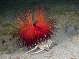 Urchin Crab (Dorippe Frascone) Carrying a Red Sea Urchin (Astropyga Radiata), Lembeh Strait Photographic Print by Reinhard Dirscherl