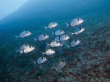 Shoal of Two-Banded Seabreams (Diplodus Vulgaris), Les Ferranelles, Medes Islands, Costa Brava Photographic Print by Reinhard Dirscherl