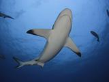 A Female Gray Reef Shark Seen from Below (Carcharhinus Amblyrhynchos), Yap, Micronesia Photographic Print by David Fleetham