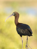 Glossy Ibis (Plegadis Falcinellus), Merritt Island National Wildlife Refuge, Titusville, Florida Photographic Print by Marc Epstein