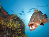 Dusky Grouper (Epinephelus Marginatus), Tamariu, Costa Brava, Mediterranean Sea, Spain Photographic Print by Reinhard Dirscherl