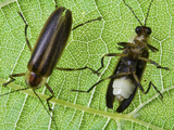 Showing Both Sides of the Firefly, Fireflies are Called Lightning Bugs Photographic Print by Jeff Daly