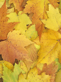 Autumn Maple Leaves on the Ground Photographic Print by Wally Eberhart