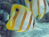 The Beaked Butterflyfish (Chelmon Rostratus) Is also known as the Copper-Banded Butterflyfish Photographic Print by David Fleetham