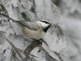 Mountain Chickadee, Poecile Gambeli, with a Seed in its Bill Photographic Print by John Cornell