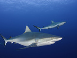 Gray Reef Sharks (Carcharhinus Amblyrhynchos), Yap, Micronesia Photographic Print by David Fleetham
