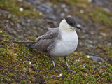 Long Tailed Jaeger or Long-Tailed Skua, (Stercorarius Longicaudus), Spitsbergen Island, Svalbard Photographic Print by Buff & Gerald Corsi