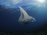 A Manta Ray (Manta Alfredi) Cruises over the Shallows Off UKumehame, Pacific Ocean, Maui, Hawaii Lmina fotogrfica por David Fleetham