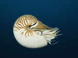 Chambered Nautilus (Nautilus Pompilius), Great Barrier Reef, Australia Photographic Print by Reinhard Dirscherl