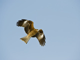 Black Eared Kite in Flight (Milvus Migrans Lineatus), Hokkaido, Japan Photographie par Gerald & Buff Corsi