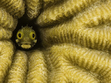 Spinyhead Blenny (Acanthemblemaria Spinosa) in a Hard Coral, Netherland Antilles, Bonaire Photographic Print by David Fleetham