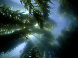 Sunlight Streaming Through a Forest of Giant Kelp (Macrocystis Pyrifera) Off Catalina Island Photographic Print by David Fleetham